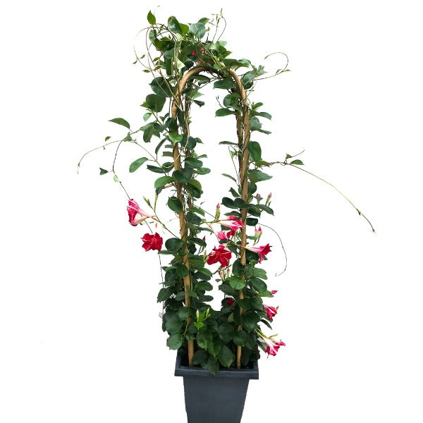 Mandevilla 'Stars and Stripes', With 4ft Trellis