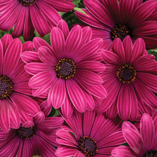 Osteospermum Bright Lights 'Purple'