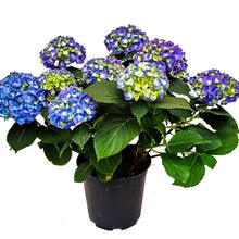 Load image into Gallery viewer, Hydrangea, Colour Paradise, Kitchener Waterloo