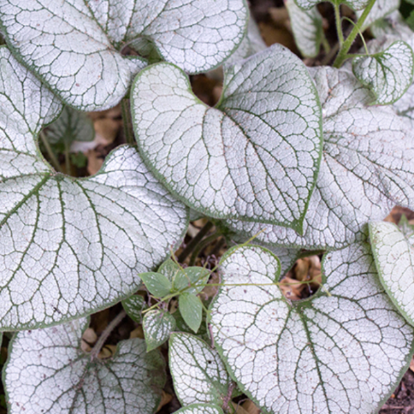 Brunnera Silver Heart, Colour Paradise, Kitchener Waterloo