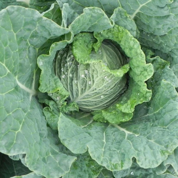 Cabbage 'Savoy Ace'