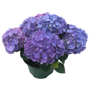 Hydrangea Sarena Blue, Colour Paradise, Kitchener Waterloo