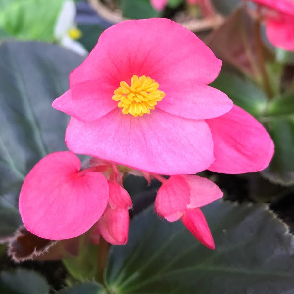 Begonia Big,  Colour Paradise, Kitchener Waterloo