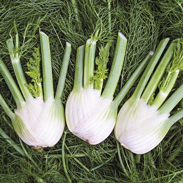 Fennel Orion