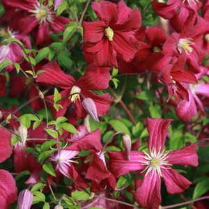 Clematis Madam Julia Correvon, Colour Paradise, Kitchener Waterloo