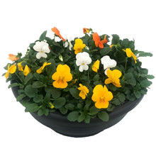 Load image into Gallery viewer, Violas, Bowls, Assorted