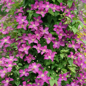 Clematis Jolly Good, Colour Paradise, Kitchener Waterloo