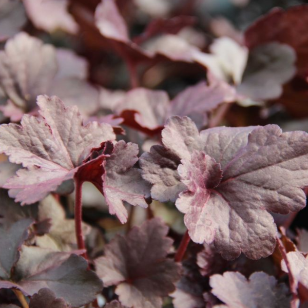 Heuchera Obsidian, Colour Paradise, Kitchener Waterloo
