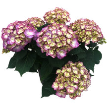 Load image into Gallery viewer, Hydrangea Lilac, Colour Paradise, Kitchener Waterloo
