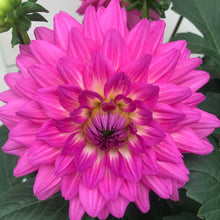 Load image into Gallery viewer, Dahlia Venti Pink White Eye, Colour Paradise, Kitchener Waterloo