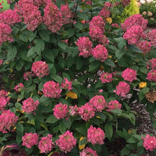 Hydrangea Fire Light, Colour Paradise, Kitchener Waterloo