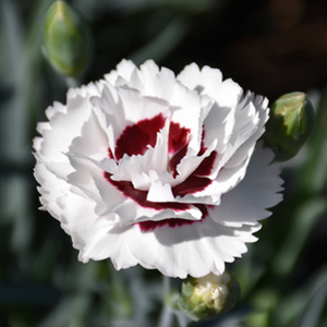 Dianthus Coconut Surprise, Colour Paradise, Kitchener Waterloo