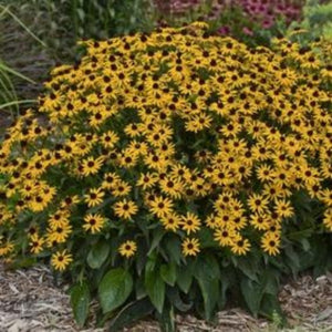 Rudbeckia Little Goldstar, Colour Paradise, Kitchener Waterloo
