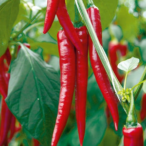 Pepper Chili Rocking Red, Colour Paradise, Kitchener Waterloo