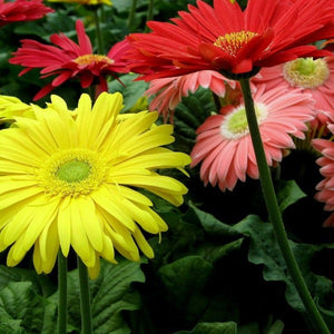 Gerbera Daisy, Assorted