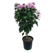 Load image into Gallery viewer, Pentas standard treeform, Colour Paradise, Kitchener Waterloo