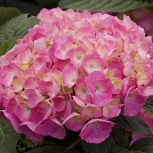 Hydrangea Big Easy, Colour Paradise, Kitchener Waterloo