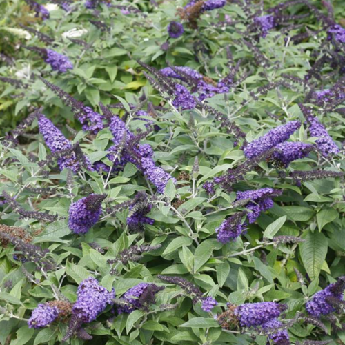 Buddleia Pugster Blue, Colour Paradise, Kitchener Waterloo