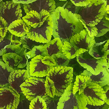 Load image into Gallery viewer, Coleus 'Kong Junior'