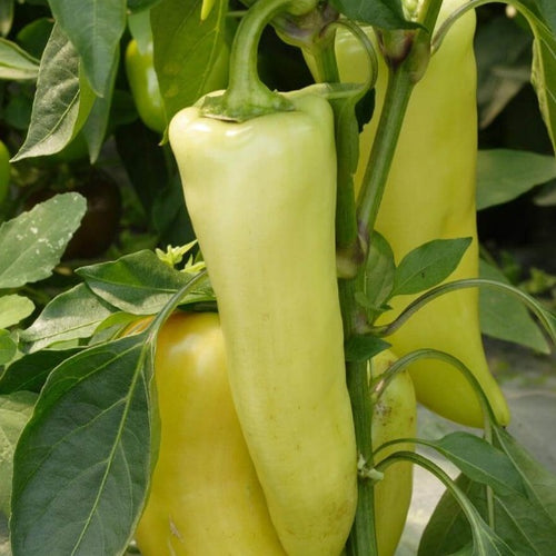 Pepper Hungarian Yellow Wax, Colour Paradise, Kitchener Waterloo