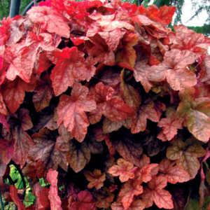 Heucherella Redstone Falls, Colour Paradise, Kitchener Waterloo