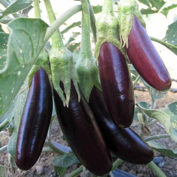 Eggplant 'Little Fingers'