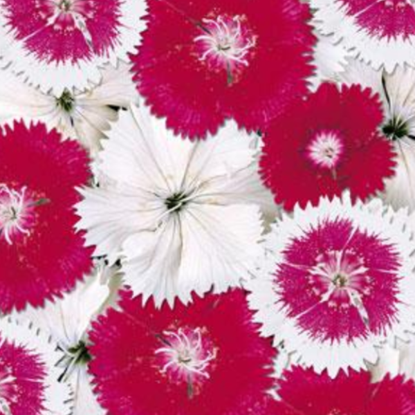 Dianthus 'Hearts of Fire'