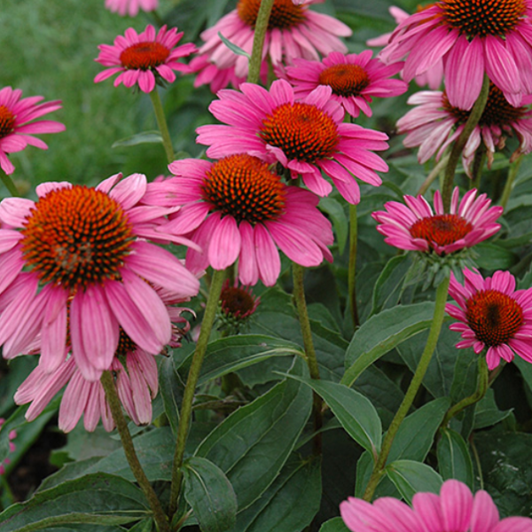 Echinacea Ruby Star, Colour Paradise, Kitchener Waterloo