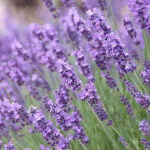 Lavender, Colour Paradise, Kitchener Waterloo