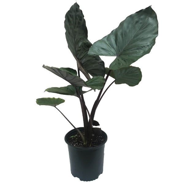 Alocasia 'Dark Star'