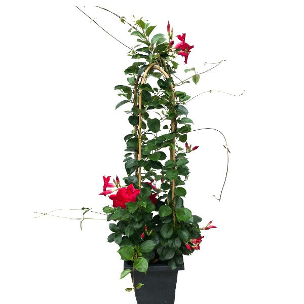 Mandevilla 'Original Crimson', With 4ft Trellis