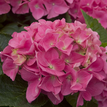 Load image into Gallery viewer, Hydrangea macrophylla 'Cityline Vienna', Pink to Purple