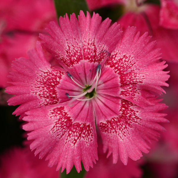 Dianthus 'True Rose'