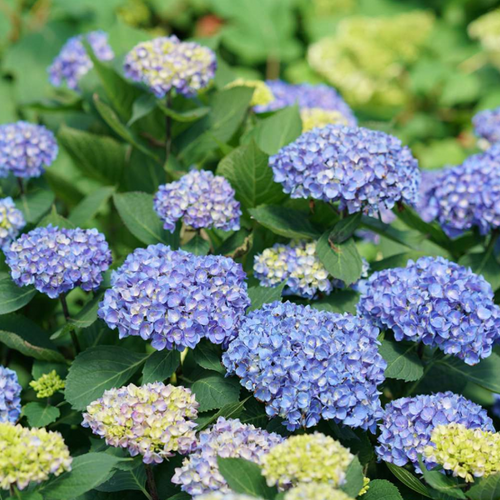 Hydrangea Rhythmic Blue, Colour Paradise, Kitchener Waterloo