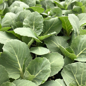 Cabbage 'Early Flat Dutch'