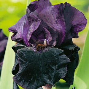 iris Black Knight, Colour Paradise, Kitchener Waterlooo