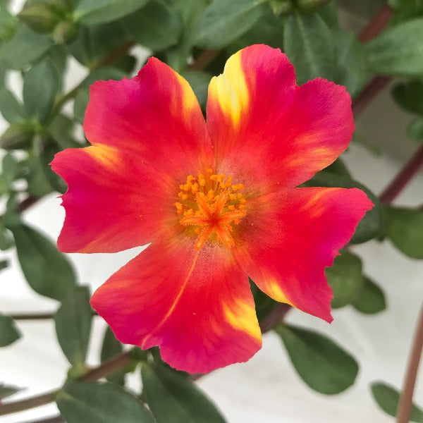 Portulaca, Assorted Colours