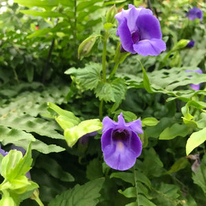Boston Fern with Torenia, Assorted