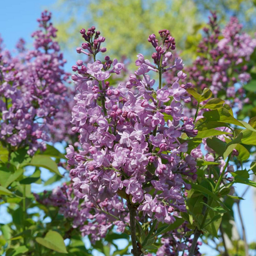 Syringa Scentara Double Blue, Colour Paradise, Kitchener Waterloo