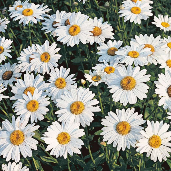 Leucanthemum Becky, Daisy, Colour Paradise, Kitchener Waterloo