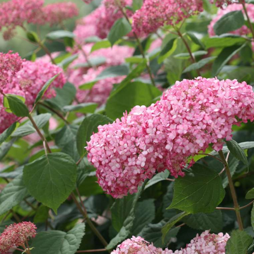 Hydrangea Invincibelle Spirit II, Colour Paradise, Kitchener Waterloo