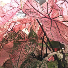 Load image into Gallery viewer, Caladium 'Spring Fling'