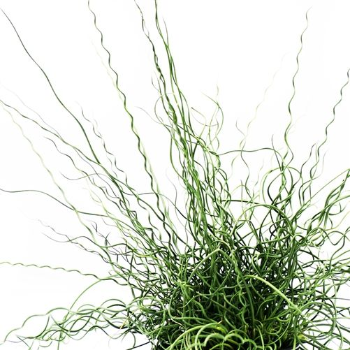 Juncus 'Twister'