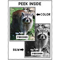 Raccoon Close Reading Passage Activities