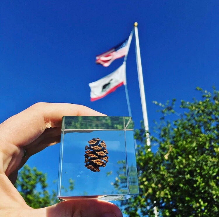Redwood Pinecone
