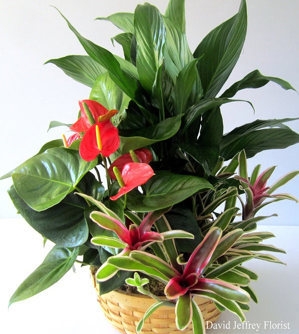 Anthurium Planter by David Jeffrey Florist