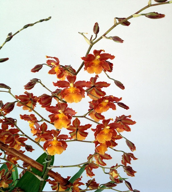 David Jeffrey's Autumn Orchids