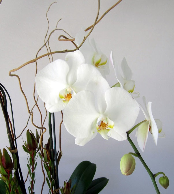 David Jeffrey's Orchid Surprise