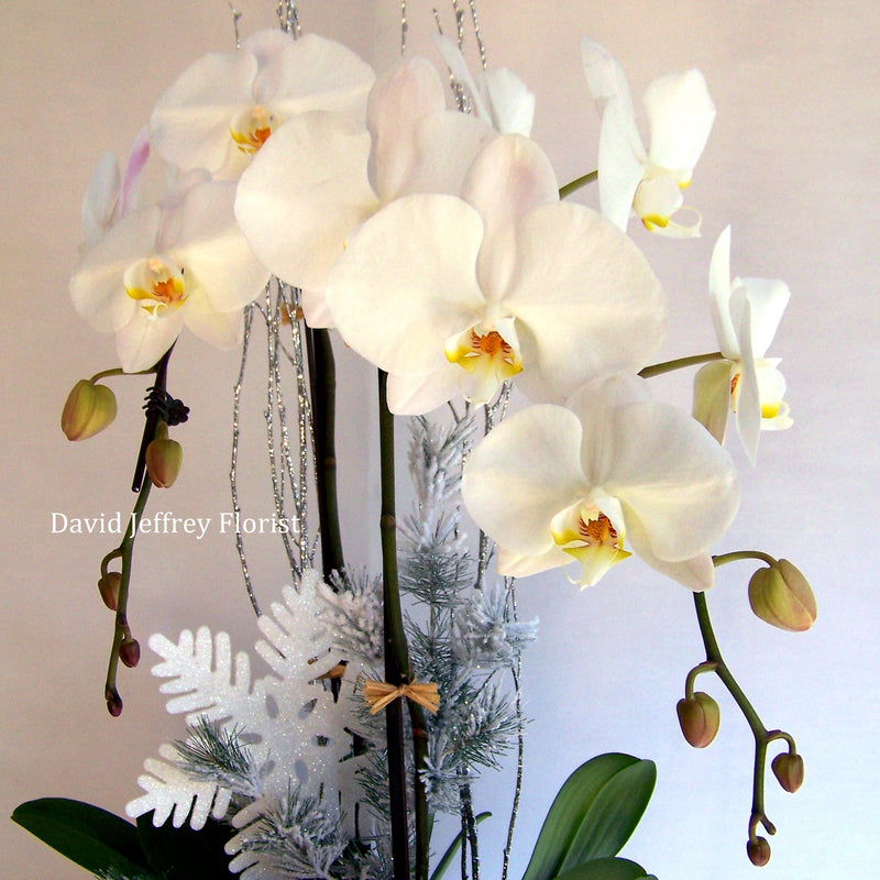 David Jeffrey's Christmas Orchids