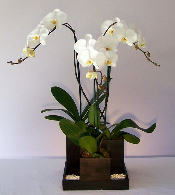 David Jeffrey's Orchid Divine